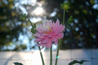 dahlia- summer evening beauty