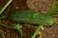 pickling cuke