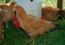 freedom ranger hen @10 weeks