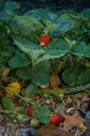 everbearing strawberries