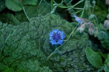savoy cabbage & blue