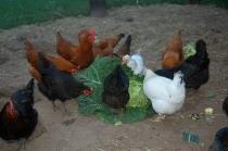 gather round the cabbage!