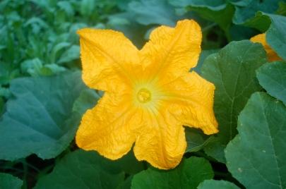 pumpkin blossom