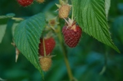 everbearing raspberries