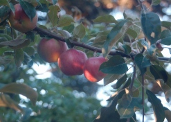 young gravenstein apples