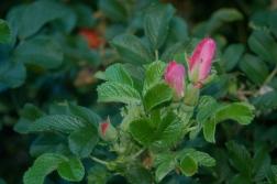frau dagmar hyssop rose
