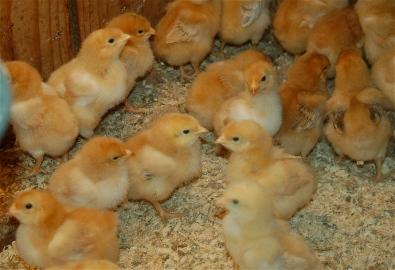 fryer chicks