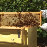 capped honey