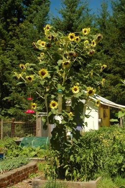 volunteer sunflower