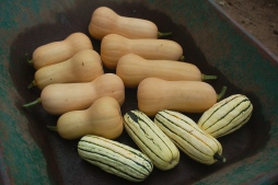 harvesting winter squash