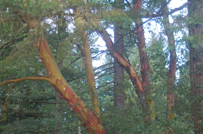 Pacific Madrone & Douglas Fir