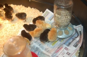brooding Autumn layer chicks