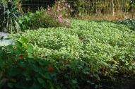 fall buckwheat cover crop