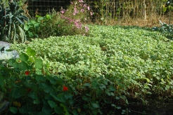 fall buckwheat cover crop