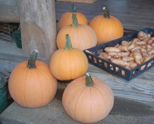 pie pumpkins & fingerling potatoes