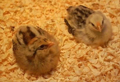 Ameraucana layer chicks