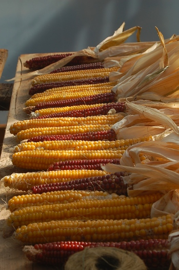 drying Roy's Calais flint corn