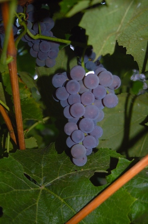 Concord Grapes