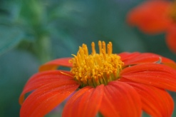 mexican sunflower