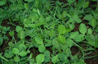 winter cover crop