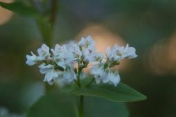buckwheat blossoms