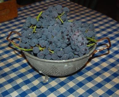 concord grape harvest