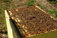early autumn hive inspection
