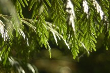 western red cedar