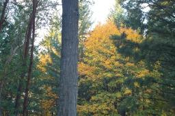 autumn gold