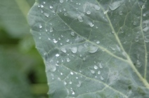 raindrops on broccoli
