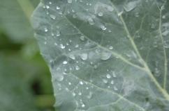 raindrops on broccoli