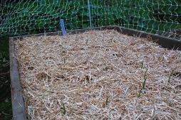 garlic- autumn mulching
