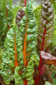 autumn swiss chard