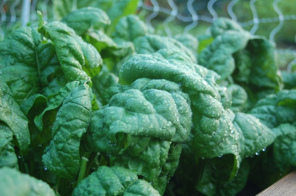 dew covered spinach
