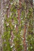 north side of a douglas fir tree
