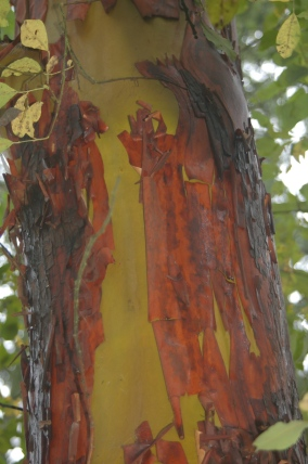 Pacific Madrone- peeling bark