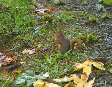 douglas tree squirrel
