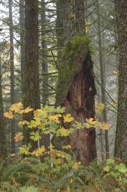 old growth stump