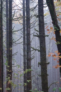 autumn mist in the woods