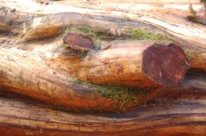 Pacific Yew log detail