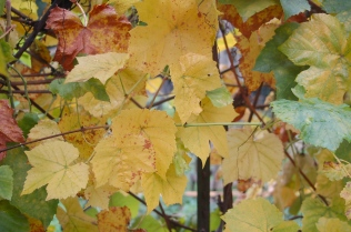 autumn grape leaves
