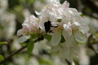 Spring apple blossoms