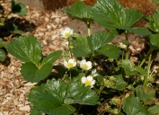 strawberries first blooms