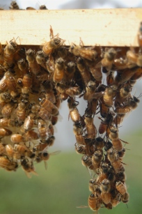 honey bee chain