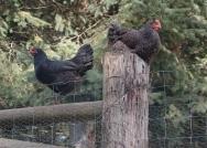 roosting hens!