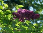 grandma's lilac
