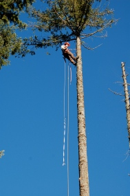 Will up a 100' tree