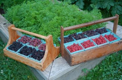 morning berry harvest