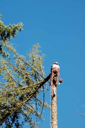 Will topping a fir tree