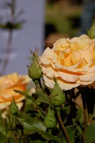 Ann Harkness rose
